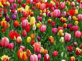 Тюльпани, поздоровлення з 8 березня, ФФМ